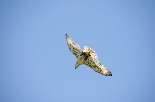 saker falcon falcon raptor