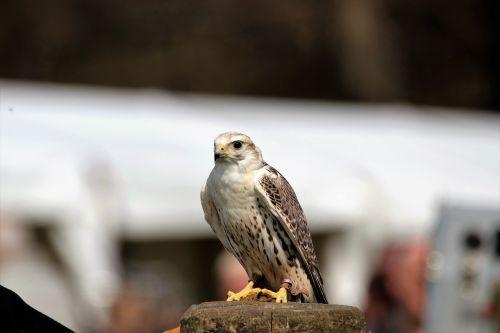 saker falcon bird falcon