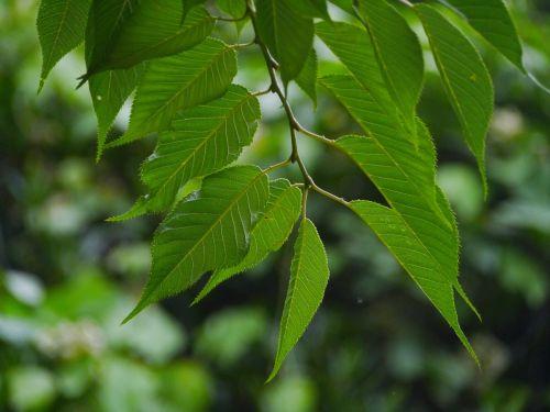 sakura cherry leaf