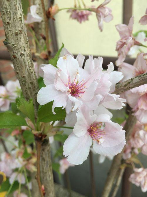 sakura cherry blossom japan