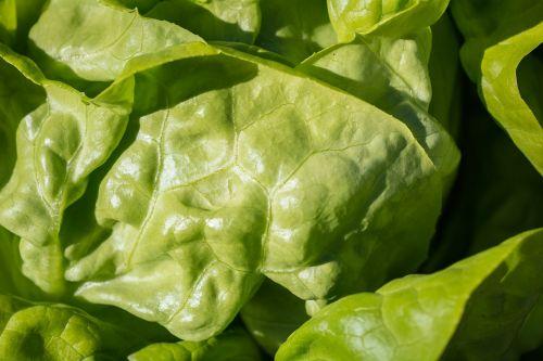 salad green leaf lettuce