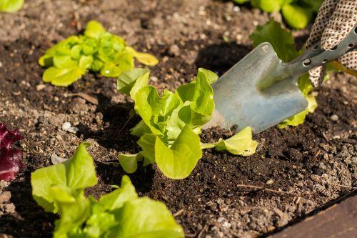 salad bio green