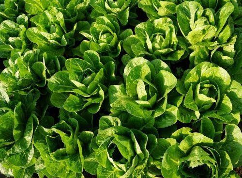 salad green eat