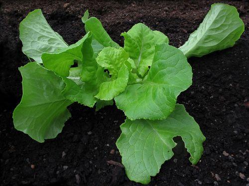 salad lettuce leaf lettuce