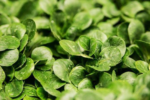 salad lamb's lettuce lettuce leaves