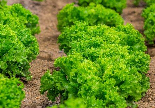 salad  leaf lettuce  culture