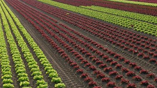 salad  horticulture  glyphosate