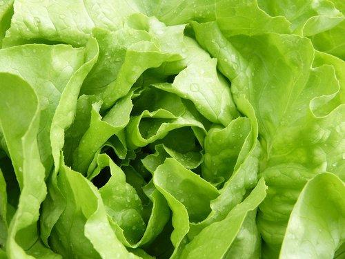 salad  lettuce  green