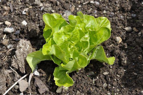 salad lettuce seedling lettuce