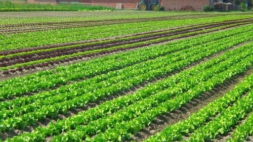 salad plantation vegetables