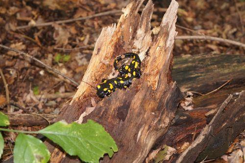 salamander forest nature