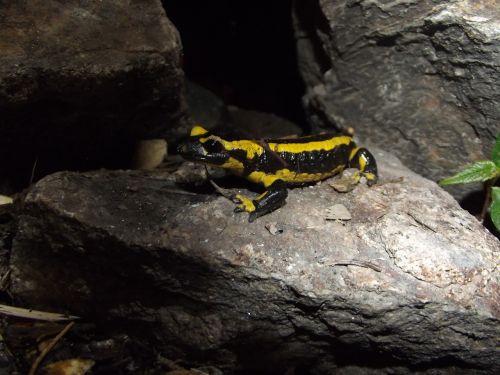 salamander stone animal