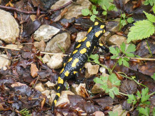salamander lizard mountains