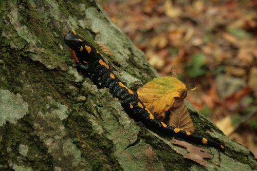salamander fire salamander yellow
