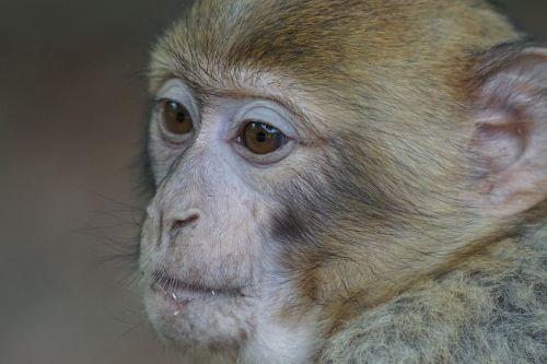 salem monkey monkey mountain