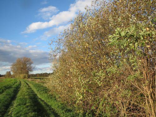 salix alba white willow dirt road