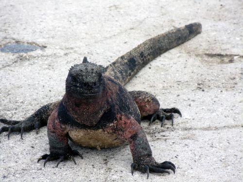 druska, vanduo, iguana, Uždaryti, galapagai, salos, ecuador, ropliai, jūrų, saldaus vandens iguana uždaryti