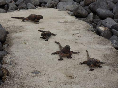 Salt Water Iguanas