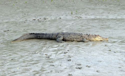 saltwater crocodile,crocodylus porosus,estuarine,indo-pacific crocodile,marine,sea-going crocodile,animal,carnivorous,sundarbans,swamp,mangroves,unesco,heritage,ramsar site,india