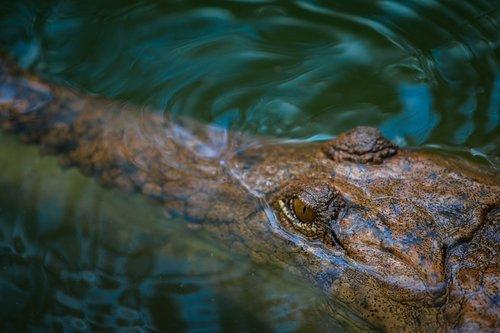 saltwater crocodile  australian  crocodile