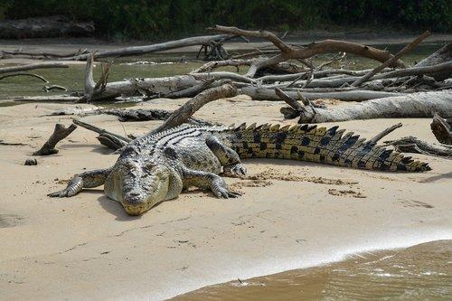 saltwater crocodile  estuarine  animal