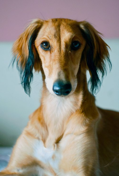 saluki  persian hound  animal