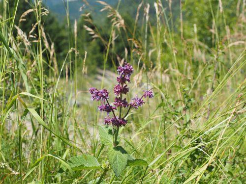 salvia verticillata sage flowers