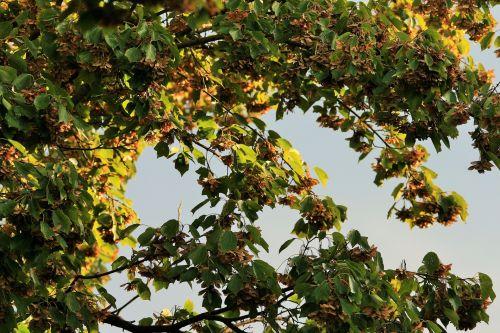 medis, Klevas & nbsp, tipo, sėklos, samara, sparnuotas, samara tipo sėklos ant medžio