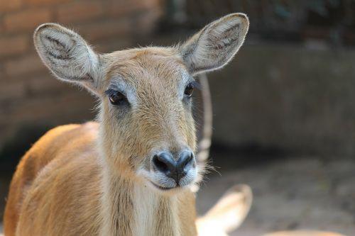 sambar deer animal