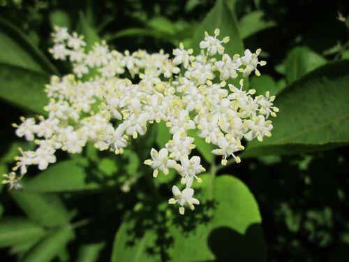 sambucus nigra elder elderberry