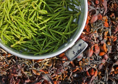 samphire foraging nature