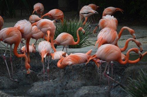 san diego zoo  flamingos  flamingoes