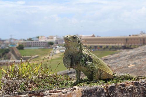 san juan puerto rico iguana