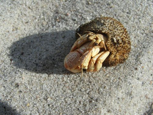 sand cancer hermit crab