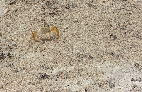 sand crayfish crab