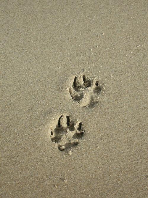 sand paw paw print