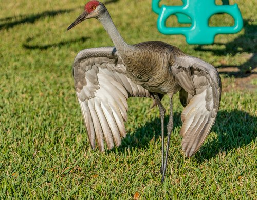 sand hill crane  endangered  nature