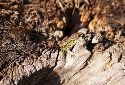 sand lizard root heat