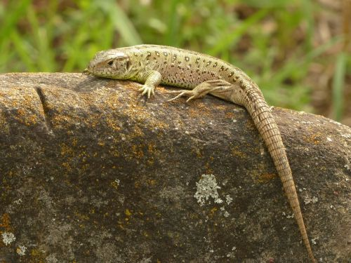 sand lizard,lizard,reptile,cold blooded animals,chunks of granite,male,free photos,free images,royalty free