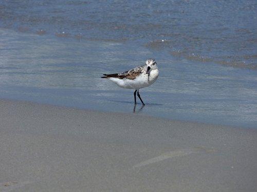 sanderling  bird  birding