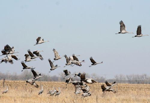sandhill crane birdwatching bird