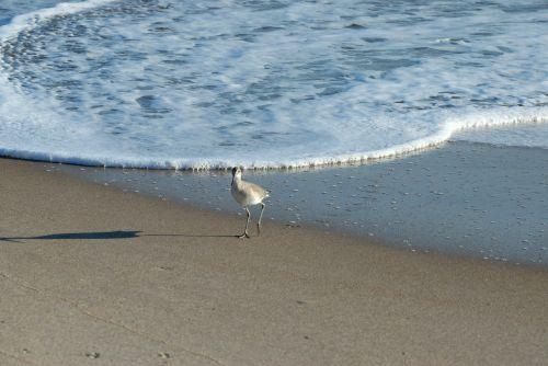sandpiper bird bird sandpiper