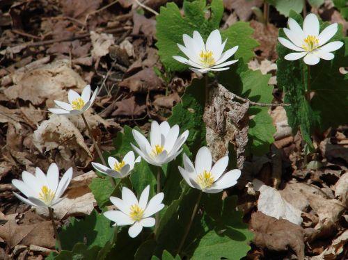sanguinarea canadensis bloodroot wildflowers