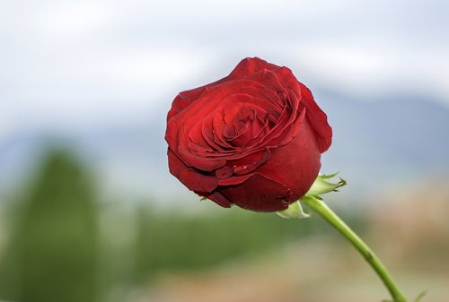 sant jordi  rosa  flower