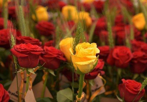 sant jordi  roses  flower
