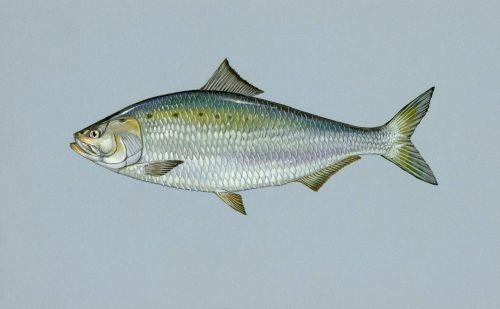 sapidissima alosa fish