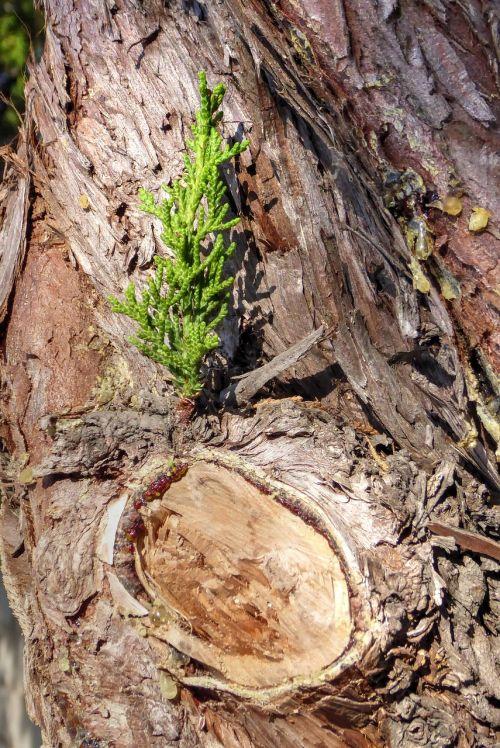 sapling pine tree bark