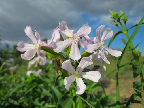 saponaria officinalis sky clouds