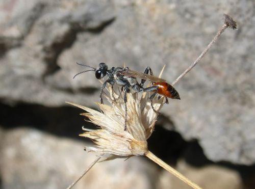 sapper wasp wasp sting