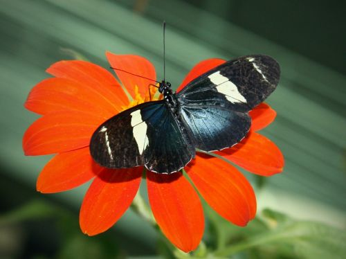 sara longwing butterfly insect
